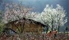 Đến Mộc Châu Ngắm Hoa Mận Hoa,Đào vào dịp cuối năm Tết đến Xuân về.Những đồi chè xanh mướt.Thưởng thức những món đặc sản nổi tiếng núi rừng Tây bắc